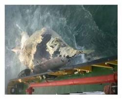 KwaZulu-Natal Sharks Board - Humpback Carcass Found Floating At Sea